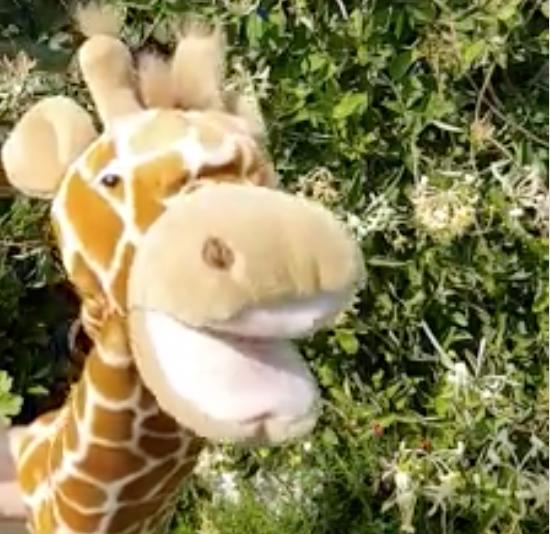 Giraffe likes the honeysuckle too.